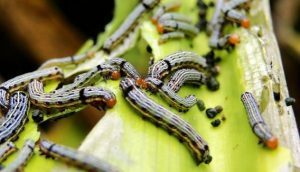 The risk of the Fall armyworm to food security in Africa must be recognised and tackled with a holistic integrated pest management programme